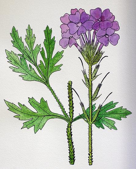 Rose Verbena