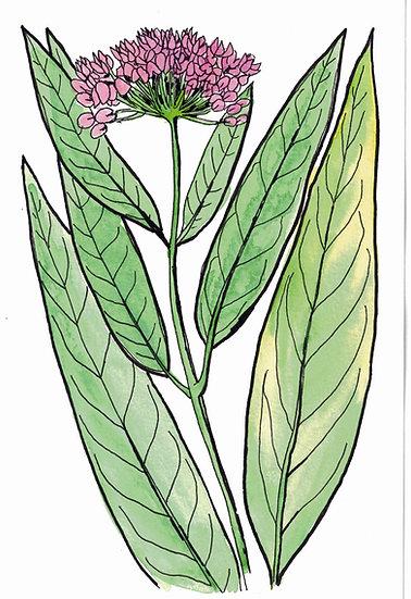 Milkweed, Rose