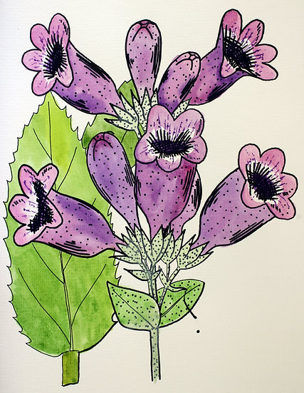 Beardtongue, Purple