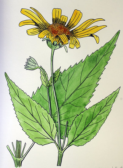Ox-eye Sunflower