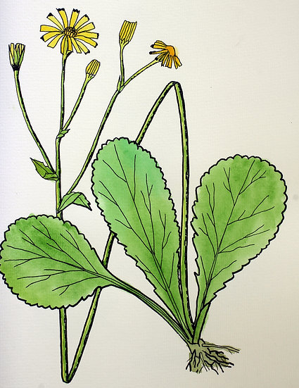 Roundleaf Groundsel