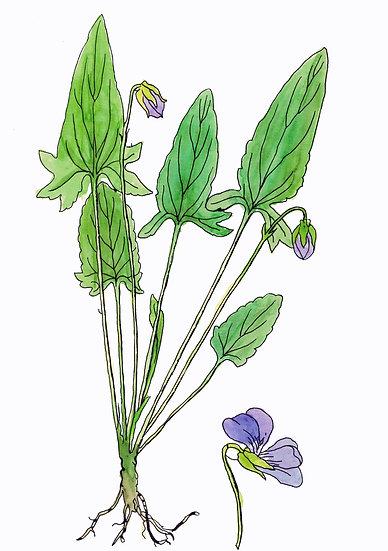 Violet, Arrow-leaved