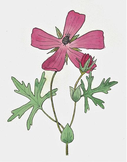 Poppy Mallow, Purple