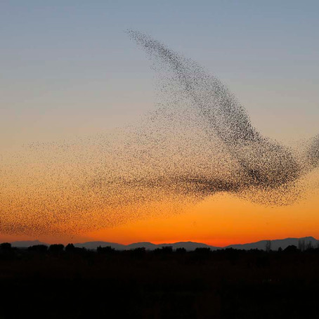 Is Your Organization Capable of Murmuration?