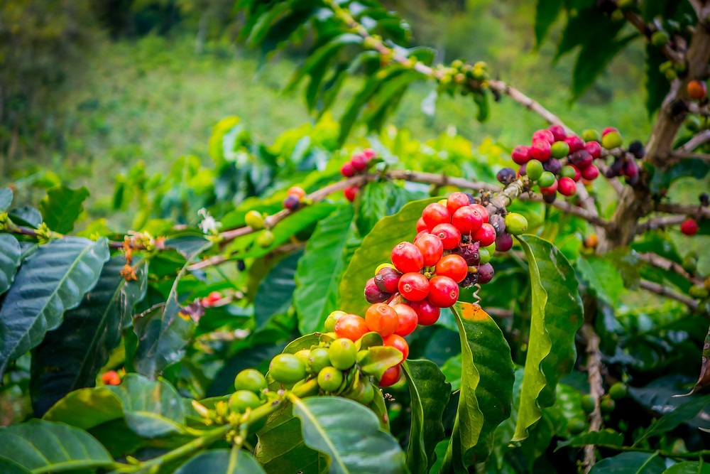 Ripe coffee cherries and unripe coffee cherries
