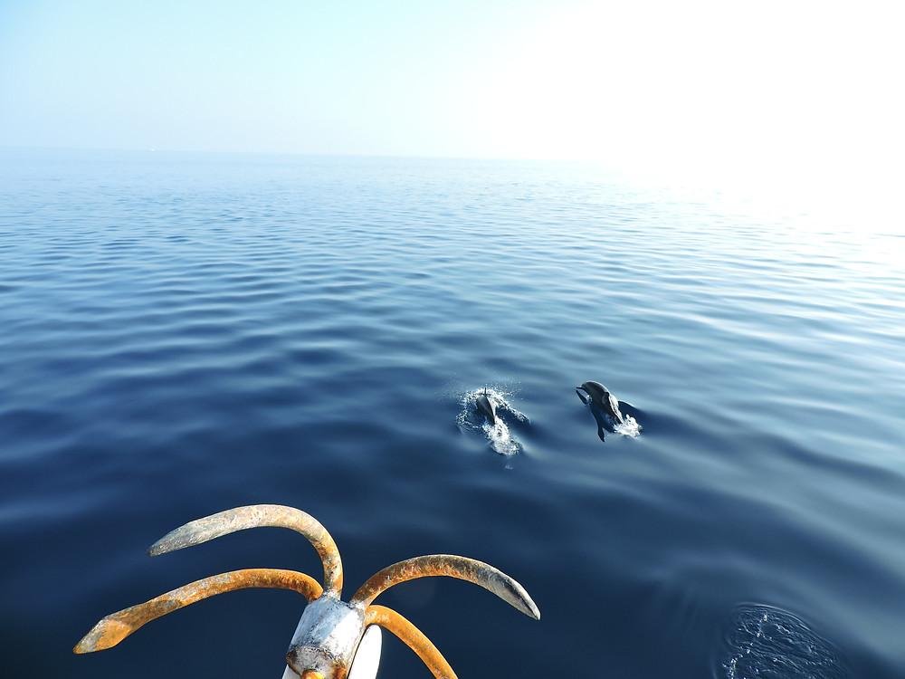 delfini alle maldive, oceano indiano