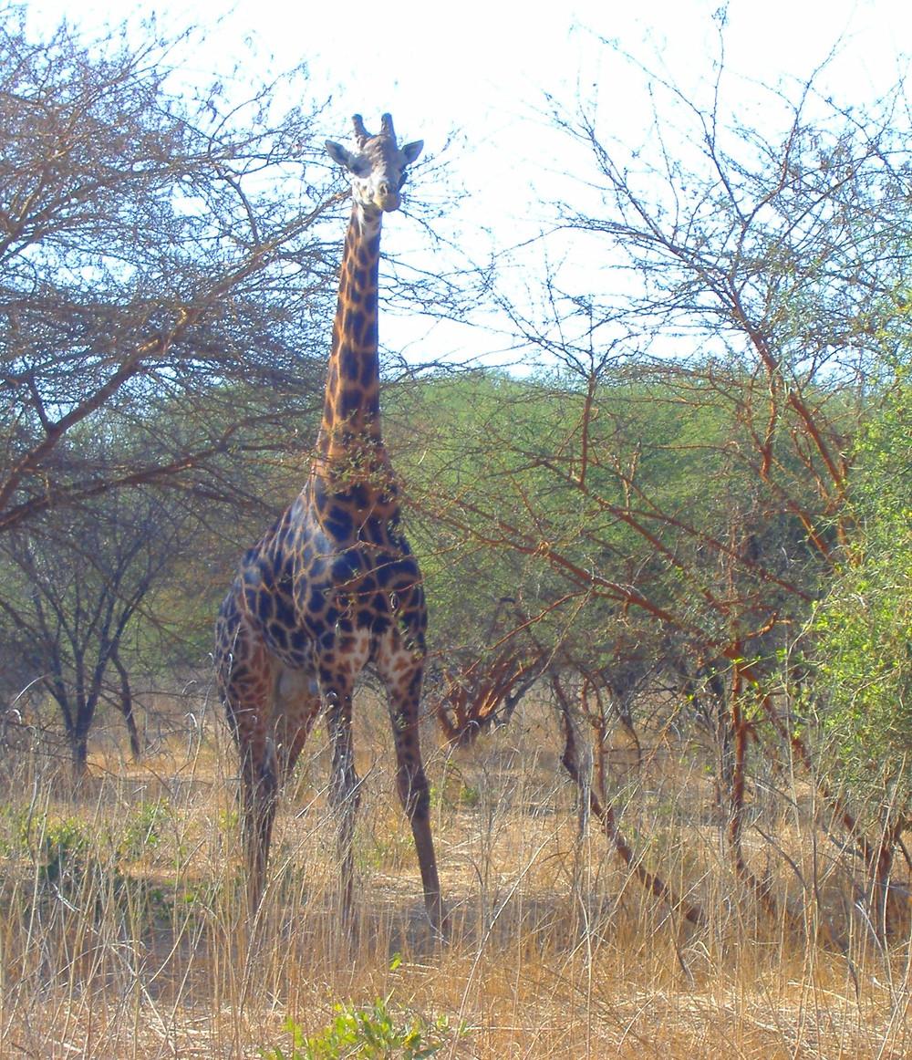 Riserva di Bandia , Senegal, Safari