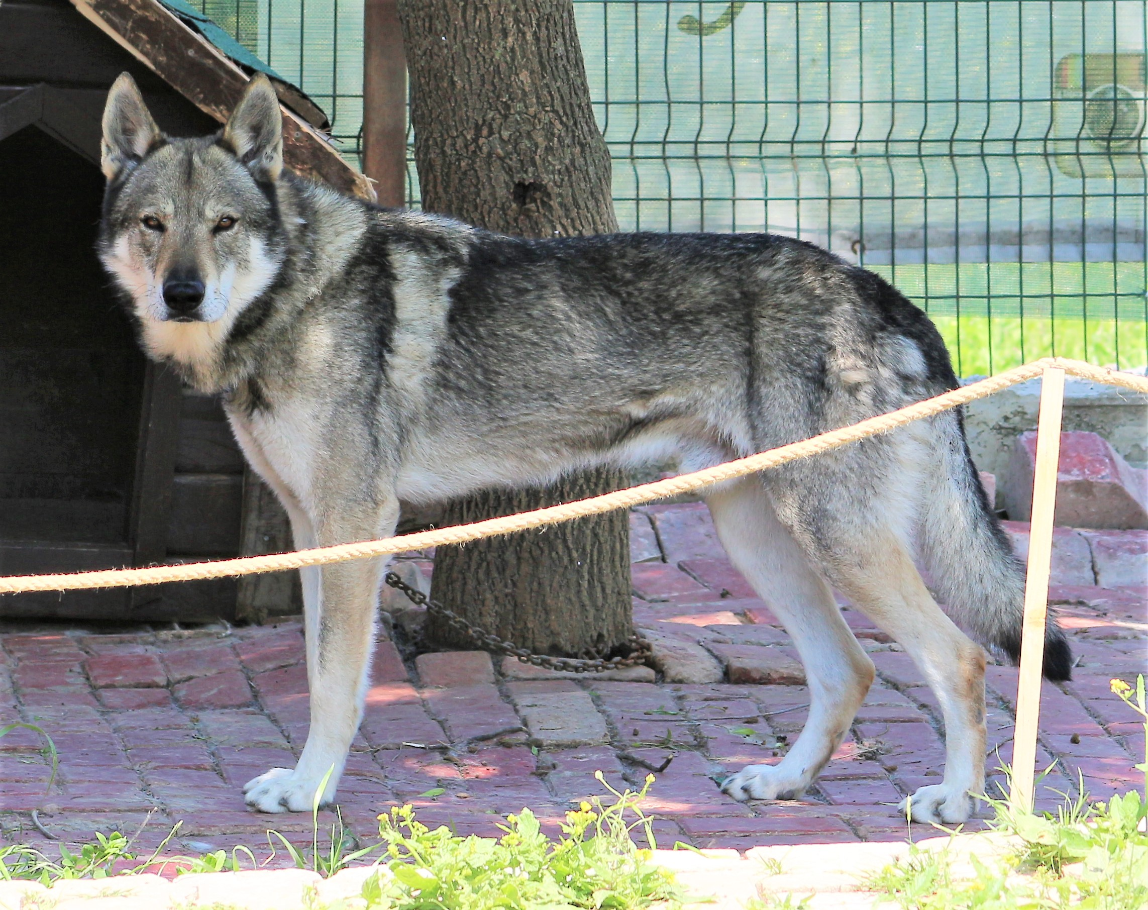 CAN BLACK SEA WOLFDOG