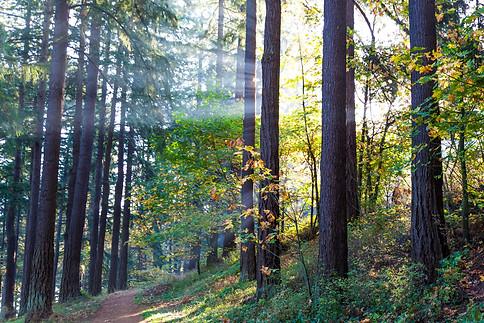 Sunrays Through Trees - Mt Tabor