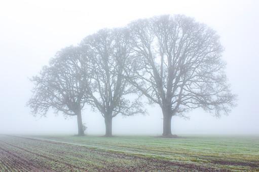 3 Foggy Trees