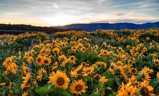 Sunflowers - Rowena Crest, Oregon