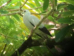 B48b_Gwee Chyiyin_Silvery Pigeon.jpeg