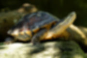 Annam Leaf Turtle_Wildlife Reserves Sing