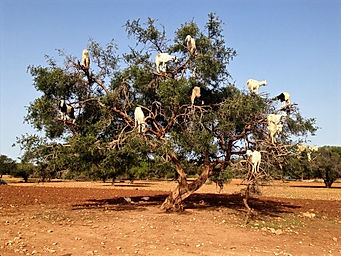 goats-on-trees_edited.jpg