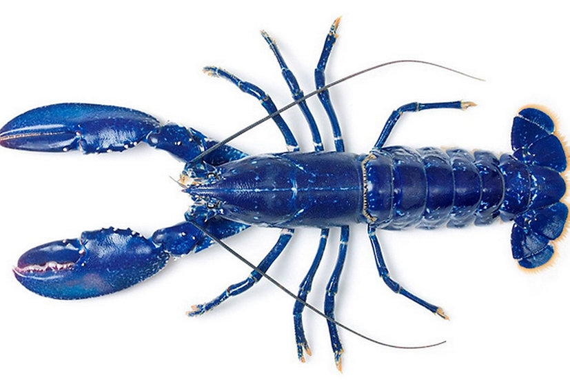 Blue Lobster from Brittany (France)