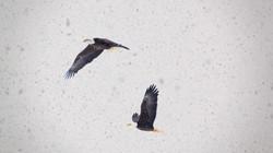 Eagle Watch Nova Scotia