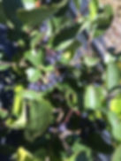 Aronia Berry Plant, Aronia Berries, Aronia Berry