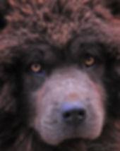Chow Dog Portrait