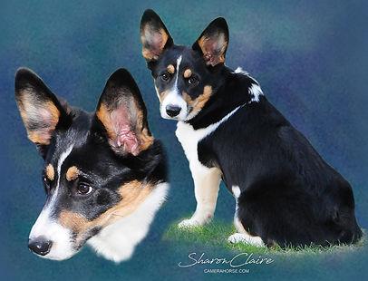 Corgi Dog Portrait