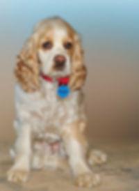 Spaniel Dog Portrait