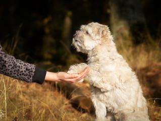 Können Sie meinem Hund Gehorsam beibringen?
