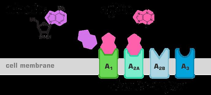 adenosine.png