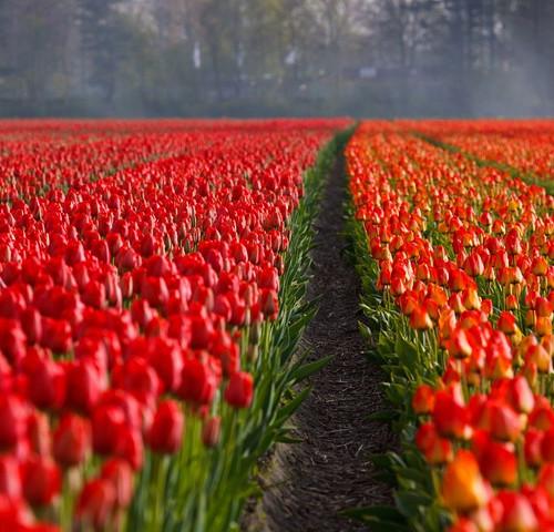 TULIPS, GARDENS & THE KEUKENHOF, NETHERLANDS (AMSTERDAM)