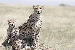cheetah-3424526_960_720.jpg