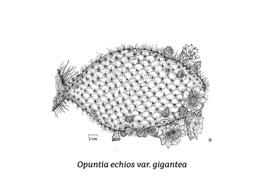 Opuntia echios
