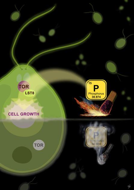 Phosphorus Availability Regulates TORC1