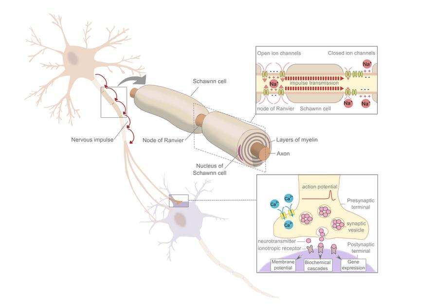 Saltatory nerve conduction