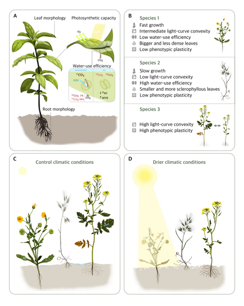 Functional traits and phenotypic plasticity modulate species coexistence