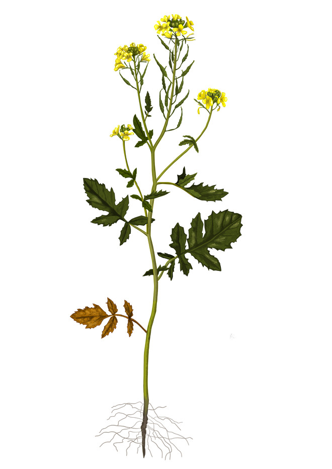 Sinapis alba