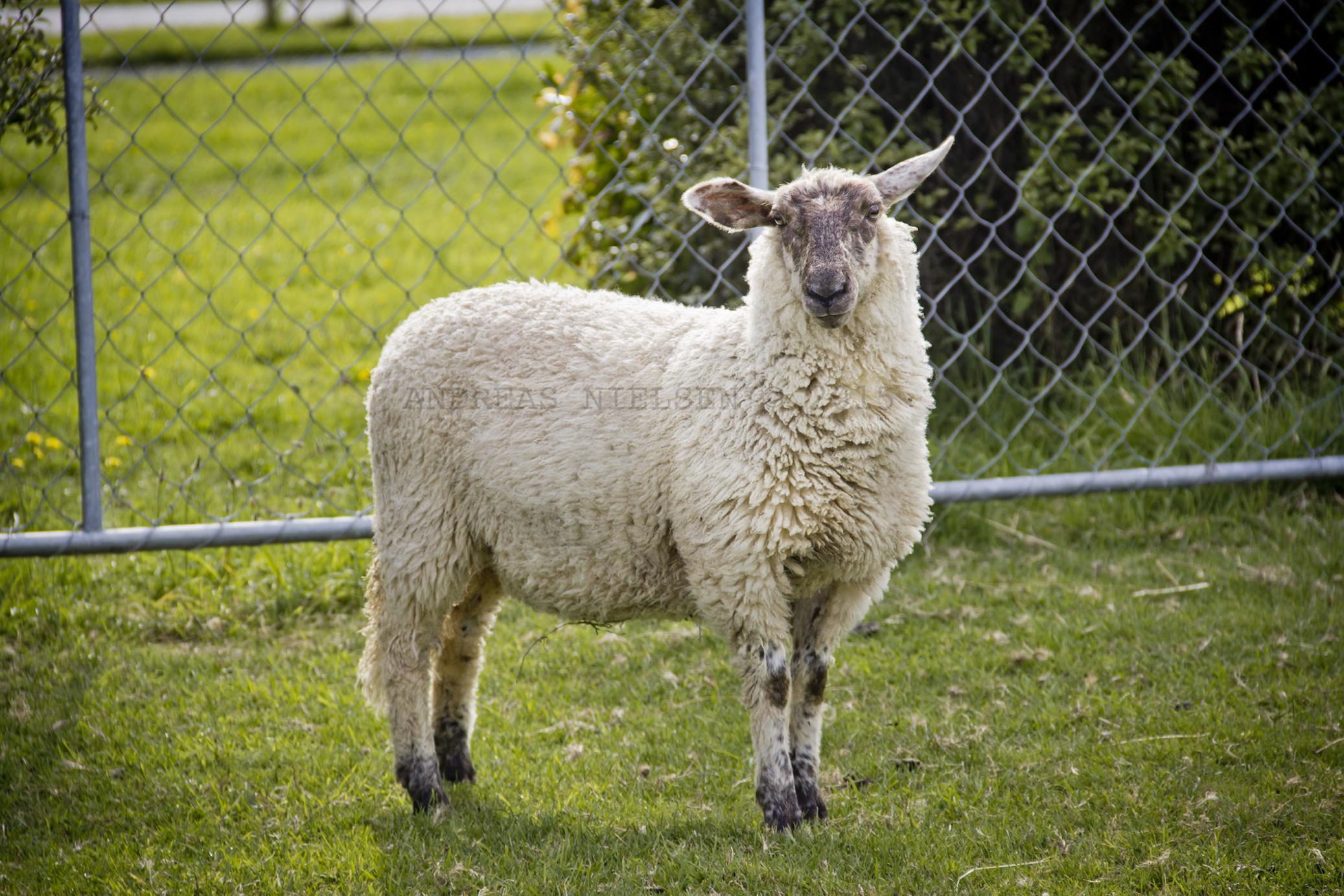 Ét af 64 mio. newzealandske får.