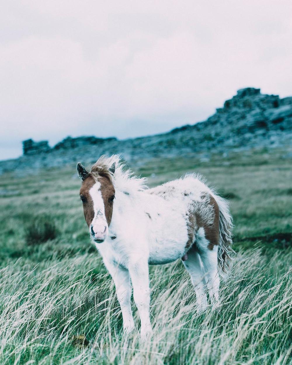 Wild pony on Great Staple Tor
