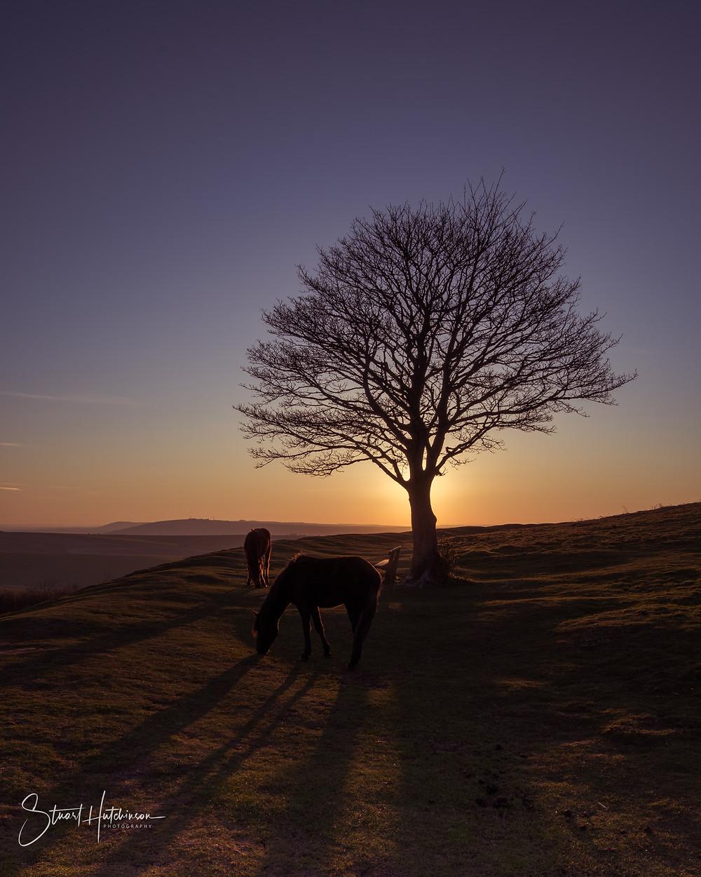 Wild ponies grazing on Cissbury Hill at Sunrise