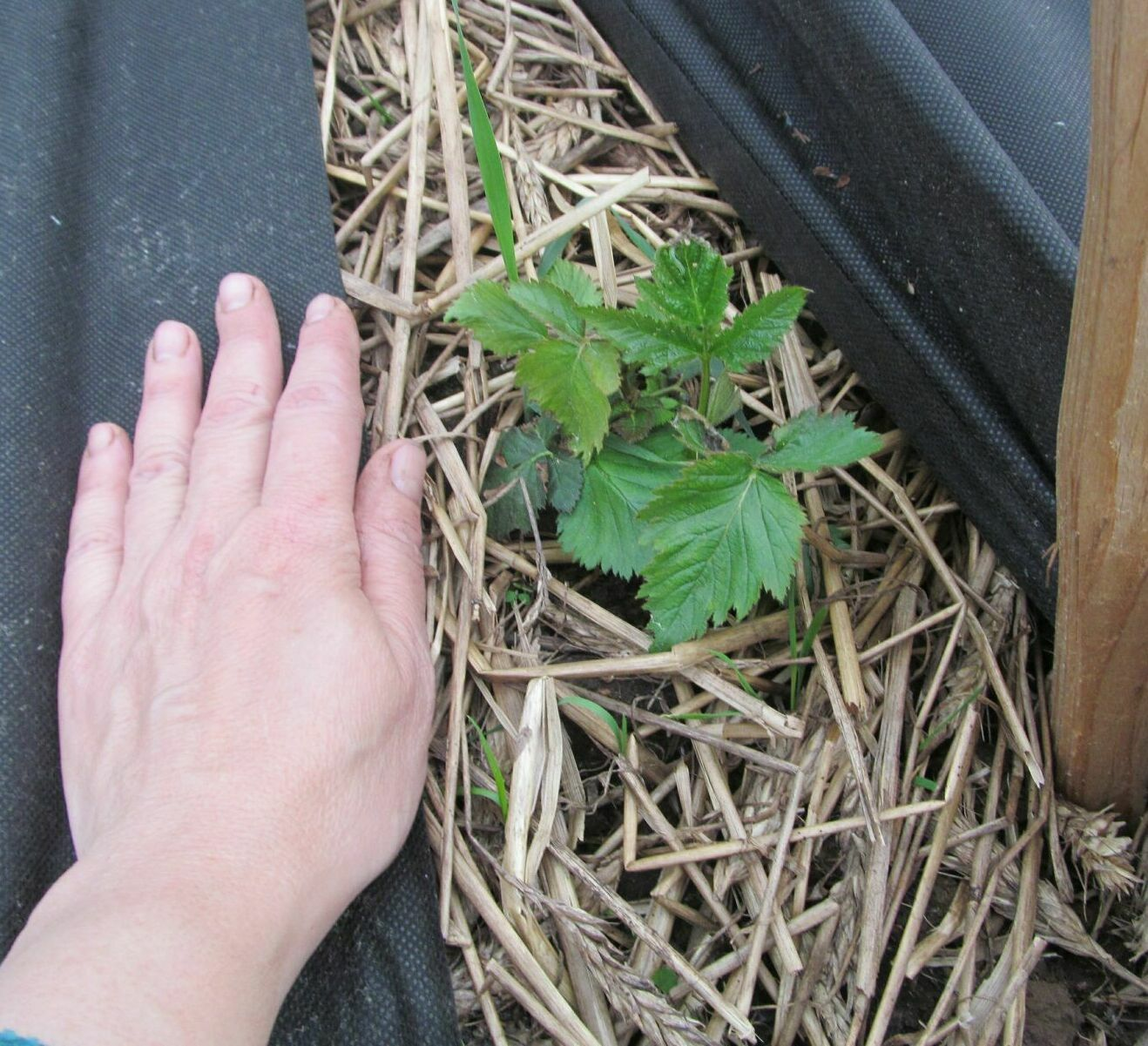 Как посадить ежевику весной