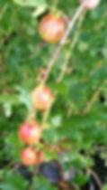 Сорта крыжовника с фото и описанием |  Ксения | видео сорта Ксения