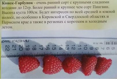 Сорт малины Конек -Горбунок