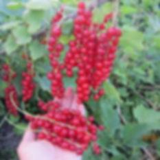 купить саженцы красной смородины Дар Орла в Беларуси | Отправка почтой +375 29 7791992