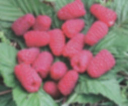 лучший сорт летней малины Пшехиба купить в Минске +375297791992