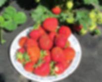 сорта клубники для беларуси