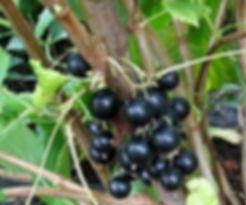 Сорта смородины с фото и описанием    Ксения   видео сорта Ксения
