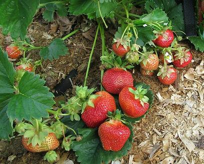 Ягода-Клубника питомник ягод