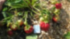 Новейшие сорта клубники в питомнике Ягода-Клубника