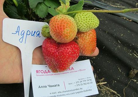 алла чамата сайт ягода-клубника все о ягодах