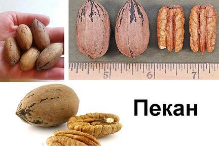 купить саженцы ореха Пекан в Минске