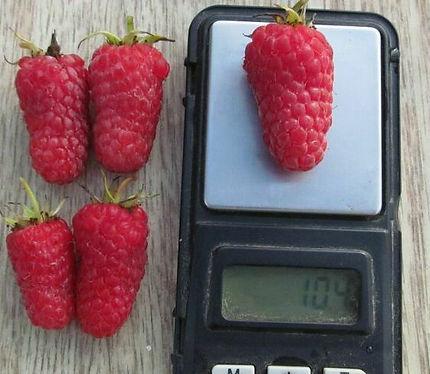 Крупноплодный сорт летней малины  Соколица