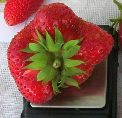 Ягода-Клубника питомник ягод в Минске