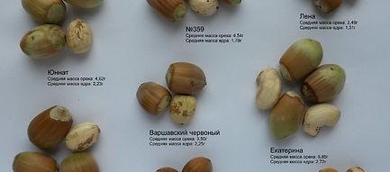 Лучшие сорта фундука купить в Беларуси